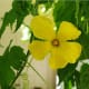 A male bitter gourd or bitter melon flower.
