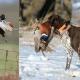 Bluetick Coonhound Hunting Birds