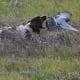 Hunting English Springer Spaniel
