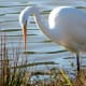 Great Egret in Cypress Park
