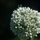 Allium cepa