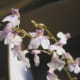 The Fairy Angel Orchids