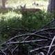 A deer calmly feeding 10 feet from our trail
