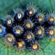 Assassin bug eggs are brown.