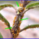 Adult hover flies lay their eggs near aphid colonies. Arrows indicate where  hover fly larvae (maggots) are beginning to form pupae.