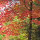 NH maple tree autumn - look for interesting lines with the tree trunks, colorful drifts of leaves...