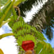 Growing plantain fruits