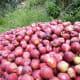 Apples of Kinnaur