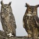 facts-about-great-horned-owls