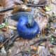 The carpathian blue slug (Bielzia coerulans)  - endemic to the Carpathian Mountains, a range in Central and Eastern Europe.