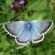 The male chalk hill blue butterfly (Polyommatus coridon) is not quite as bright as the adonis blue butterfly, but is every bit as beautiful.   This gorgeous butterfly is found in many places across southern England.
