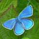 This is the adonis blue butterfly (Polyommatus bellargus).  Only the male adonis is blue; the female is a chocolate brown color.