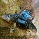A non-aggressive blue carpenter bee (xylocopa caerulea), a large, hairy bee with long, black eyes that is found in Southeast Asia, India and the southern parts of China.