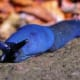The carpathian blue slug is a large land slug.
