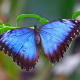 Roberto De Micheli provides some stunning photographs of butterflies on his website, including this blue morpho.