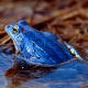 The blue moor frog - found in Europe and Asia.