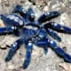 This amazing blue arachnid is known by many names, including peacock tarantula, Gooty tarantula, metallic tarantula, peacock parachute spider and salepurgu.   They only look irridescent, but  researchers at the University of Akron say they aren't.