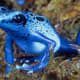 This is the blue poison dart frog (Dendrobates azureus) - commonly found in rainforests in the southern part of Suriname.