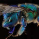 This is the blue sweat bee (Augochloropsis Sumptuosa).