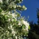 White flowers against a clear blue sky