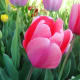 A beautiful pink tulip in bloom