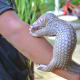 a-rescued-baby-pangolin-or-palawan-scaly-anteater