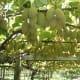 Immature kiwi fruit