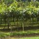 Kiwi orchard