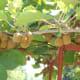 Maturing kiwi fruits