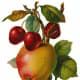 Yellow apple with cherries and leaves clip art