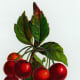 Vintage fruit clip art: red cherries hanging in a bunch