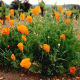 The California poppies were in full bloom!