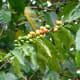 Coffea Arabic berries