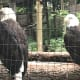 This photo l took of two regal looking eagles that were perched carelessly in their cages. They had no interest in us as visitors.