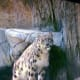 Miska, was the star of the show as we watched her deliver her three snow leopard cubs.