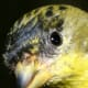 The close-up of the feathers on this Lesser Goldfinch is nothing short of amazing. The texture around the birds eye is also an interesting feature to view in this image.