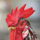 Notice the texture of this rooster's comb and feathers.