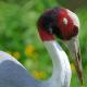 Sarus Crane (Grus antigone)