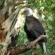 Bald Eagle at Brevard Zoo