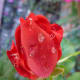 Knock Out rose with droplets of rain