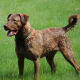 Sporadic cases of vWD Type III have been reported for the Chesapeake Bay Retriever.