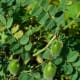 chick pea seed pods