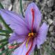 close up of the saffron flower showing the 3 crimson colored stigmas.