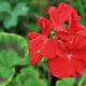 Zonal geraniums in red or white grow well in beds as well as flower pots. (You can pick out zonal varieties by the reddish stripes on their leaves.
