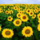 Each sunflower is a burst of sunshine!