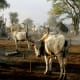 Herds of cattle can be used as bride price