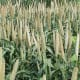 Pearl millet developed by USDA-ARS and grown at Tifton, GA. Non-copyrightable image courtesy of the USDA-ARS. (From the English Wikipedia)