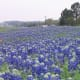 Highway 6 north of Navasota flooded with bluebonnets