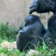 Western Lowland Gorilla, Philadelphia Zoo