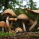 Magic Mushrooms - Shrooms.